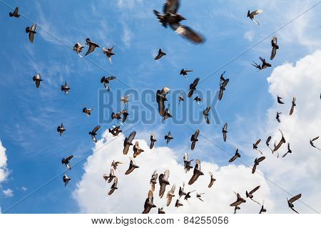 The flock of pigeons in the summer sky