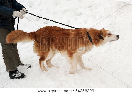 Ginger Shaggy Dog On Snow