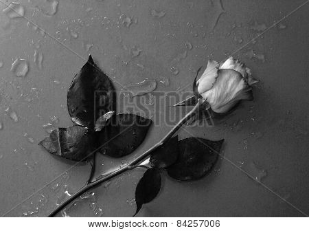 rose flower lying on water droped background in black and white