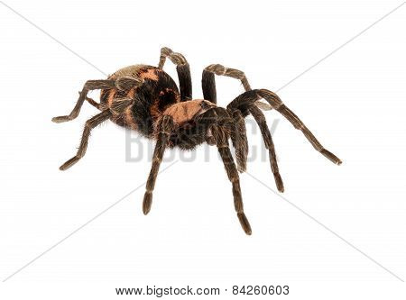 Costa Rican Tiger Rump Tarantula On White Background.