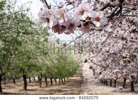 Flowering Almond Garden