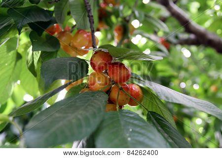 Ripe Sweet  Cherries On The Tree