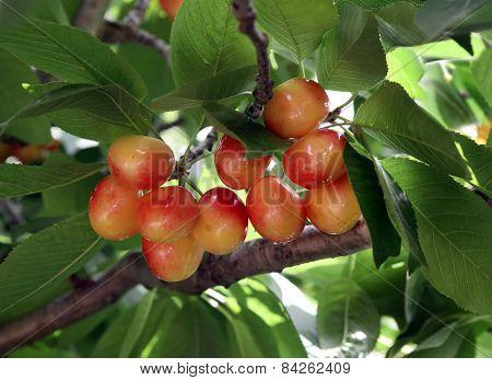 Ripe Sweet  Cherries On A Tree