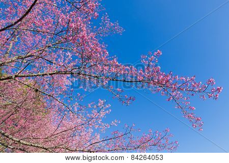Pink Sakura flower blooming and blue sky background.