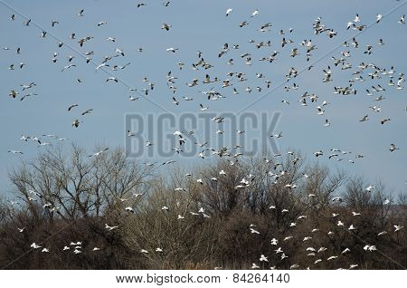 Large Flock Of Snow Geese Landing In The Marsh