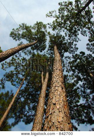 Soaring Pine Trees