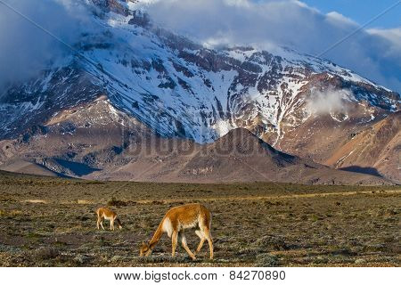 Vicugnas along the foothills of Chimborazo volcano in andean Ecuador
