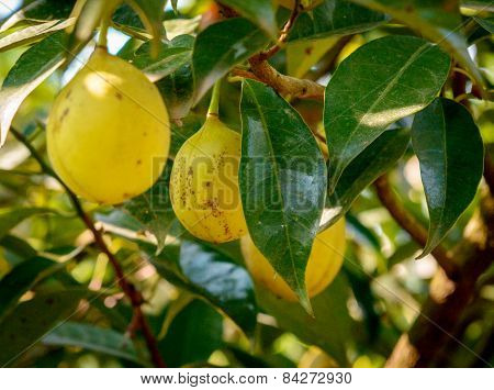 Ripening nutmeg fruits in its tree
