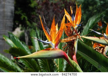 Bird of Paradise flowers.
