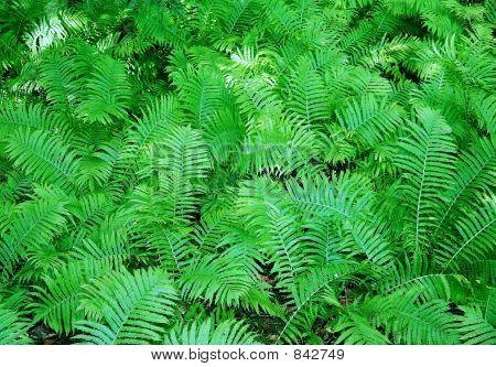 Lush woodlands ferns