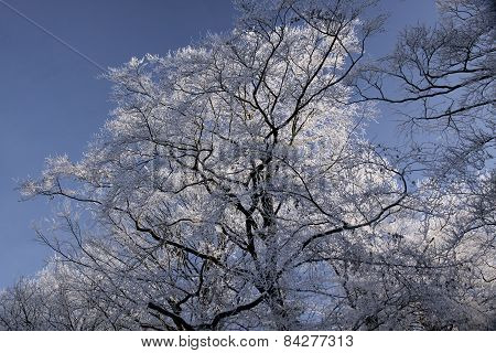 Tree With Hoar Frost