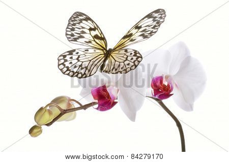 Butterfly On White Orchids.