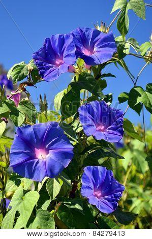 Blue Trumpet vine flowering in Portugal