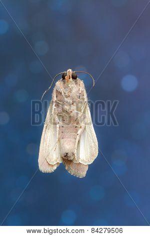 Brazilian Moth Butterfly