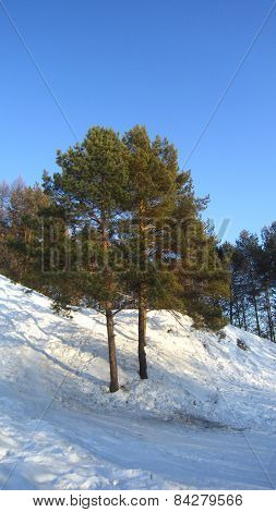 Two pine