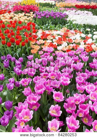 Flowers field with different colored tulips