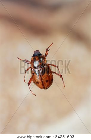Brazilian Insect