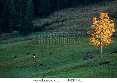 Autumn Landscape With Cows And Golden Tree