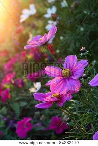 Beautiful Cosmos Flowers With Sunlight