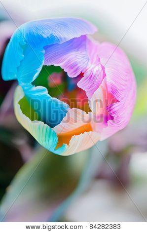 Closeup of multicolored tulip
