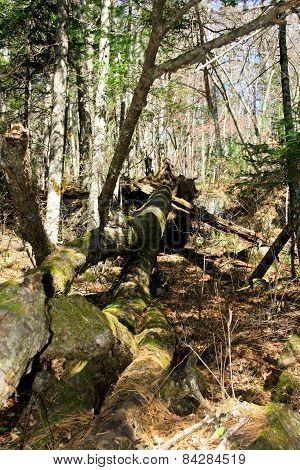 Landscape Of Coniferous Wood