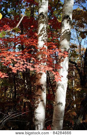 Two Birches Grow Near To A Maple