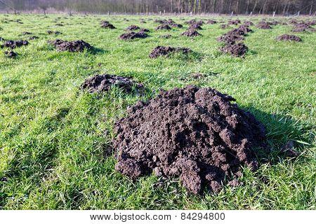 Many molehills in green grassland