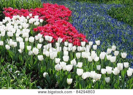 Tulips field in red and white with blue grape hyacinths