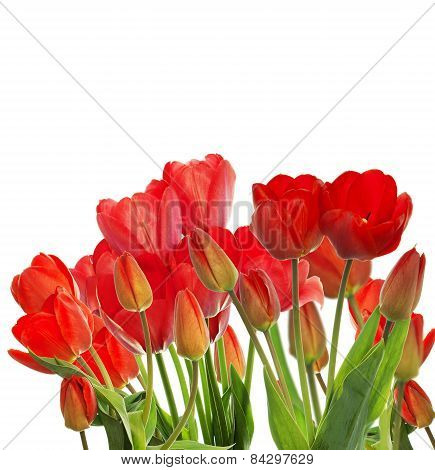 Beautiful Garden Fresh Red Tulips On White  Background