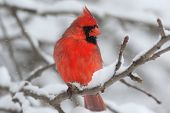 pic of cardinal  - Male Northern Cardinal  - JPG