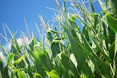 foto of corn stalk  - Corn stalks on a farm in Pennsylvania - JPG