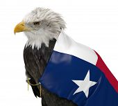 picture of texas flag  - Bald eagle caped with a flag of the American state of Texas - JPG