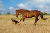 image of arabian horse  - Red horse and dog play in the meadow - JPG