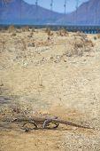 image of komodo dragon  - Baby Komodo Dragon in the wild on Komodo Island - JPG