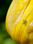 stock photo of cricket insect  - Very small speckled bush cricket on a yellow tulip - JPG