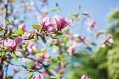 pic of magnolia  - Pink magnolia tree blossom and the blue sky - JPG