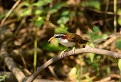 foto of babbler  - beatiful White - JPG