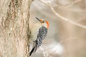 stock photo of woodpecker  - Red-bellied woodpecker perched on the side of a tree in winter
