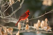 stock photo of cardinal  - A northern cardinal perched on a branch after a winter snowfall.
