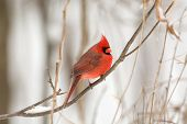 picture of cardinal  - Male northern cardinal perched on a branch following a winter storm