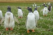 stock photo of falklands  - Gentoo Penguins  - JPG