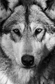 foto of wolf-dog  - Portrait of a Grey Wolf glaring in to the distance - JPG