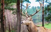 image of jousting  - Majestic powerful adult male red deer stag in autumn fall forest - JPG