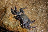 pic of exoskeleton  - Black and red crab on the rock - JPG
