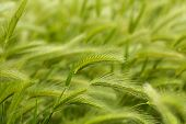 foto of spike  - Green wheat - JPG