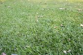 stock photo of manicured lawn  - This is a Green lawn in the garden - JPG