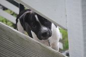 foto of peek  - A black and white puppy is peeking through a fence. ** Note: Soft Focus at 100%, best at smaller sizes - JPG