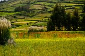 stock photo of quinoa  - Quinoa plantations in Colta - JPG