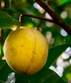 stock photo of west indies  - A ripening yellow nutmeg fruit in its tree - JPG