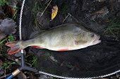 foto of caught  - Large fresh water Perch caught by angler in commercial lake and returned alive for sport - JPG